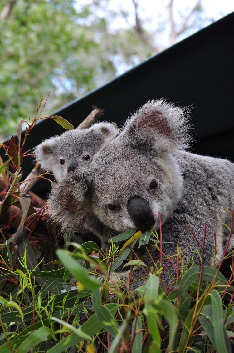 геометрии знаем, смотреть фото коала строил