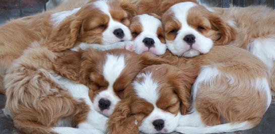 King Charles Puppies So Sweet I Ve Owned Three Of These Best