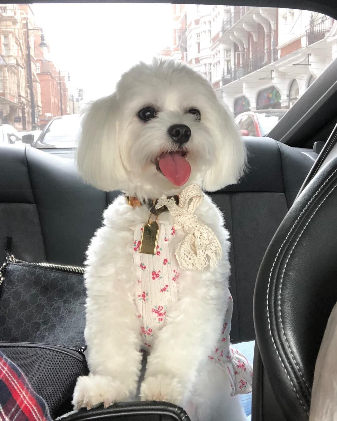 Happy To Be In The Car Dog Gifts Dogs Animals