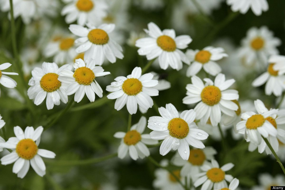 Pin by michelle alexander leblanc on flowers plants pinterest sun loving chrysanthemum parthenium or the feverfew herb has daisy like flowers that can last for months photo by joefox nature alamy izmirmasajfo