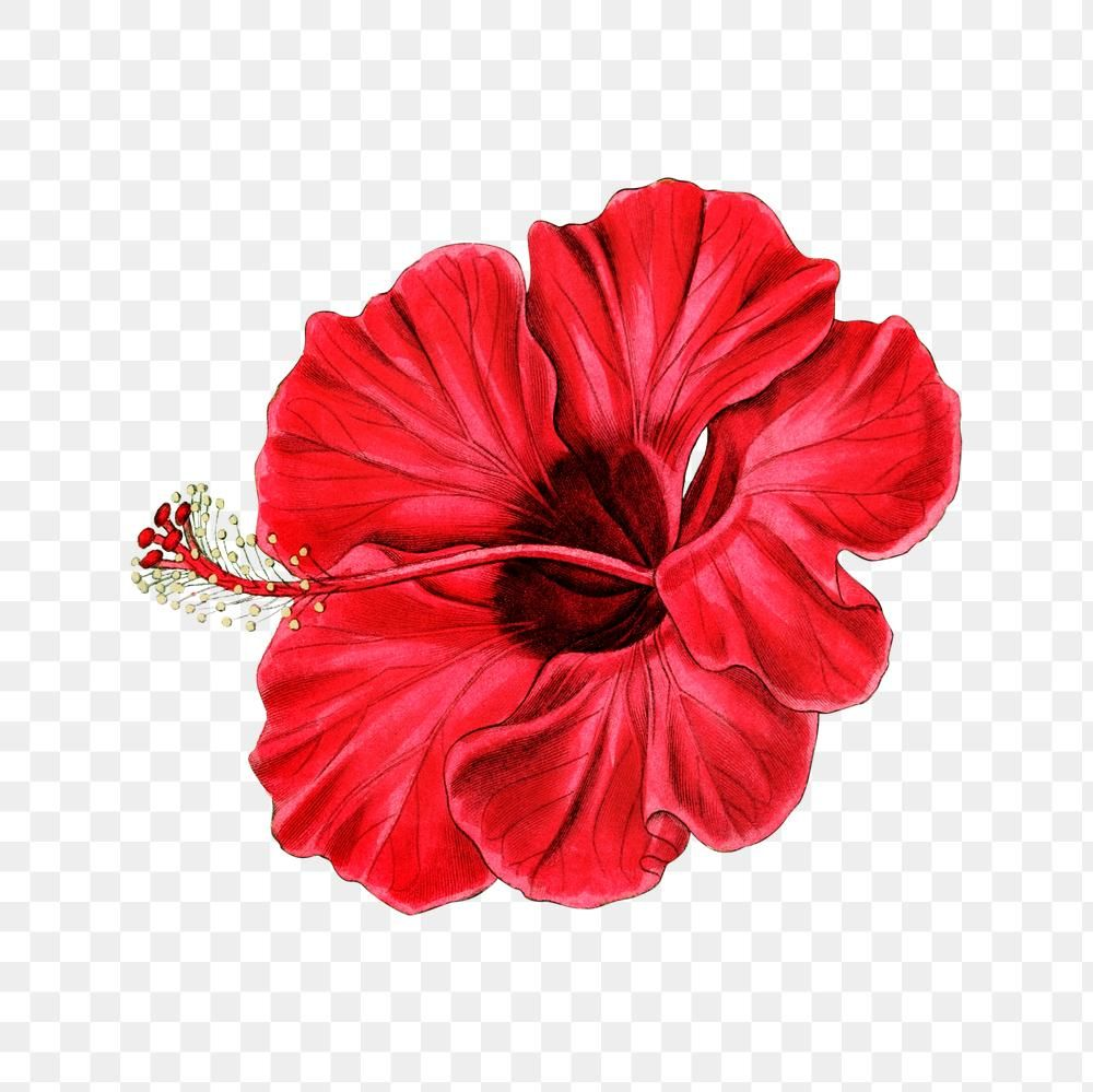 Blooming Red Hibiscus Png Illustrated Free Image By Rawpixel Com Maewh In 2020 Flower Illustration Free Illustrations Illustration