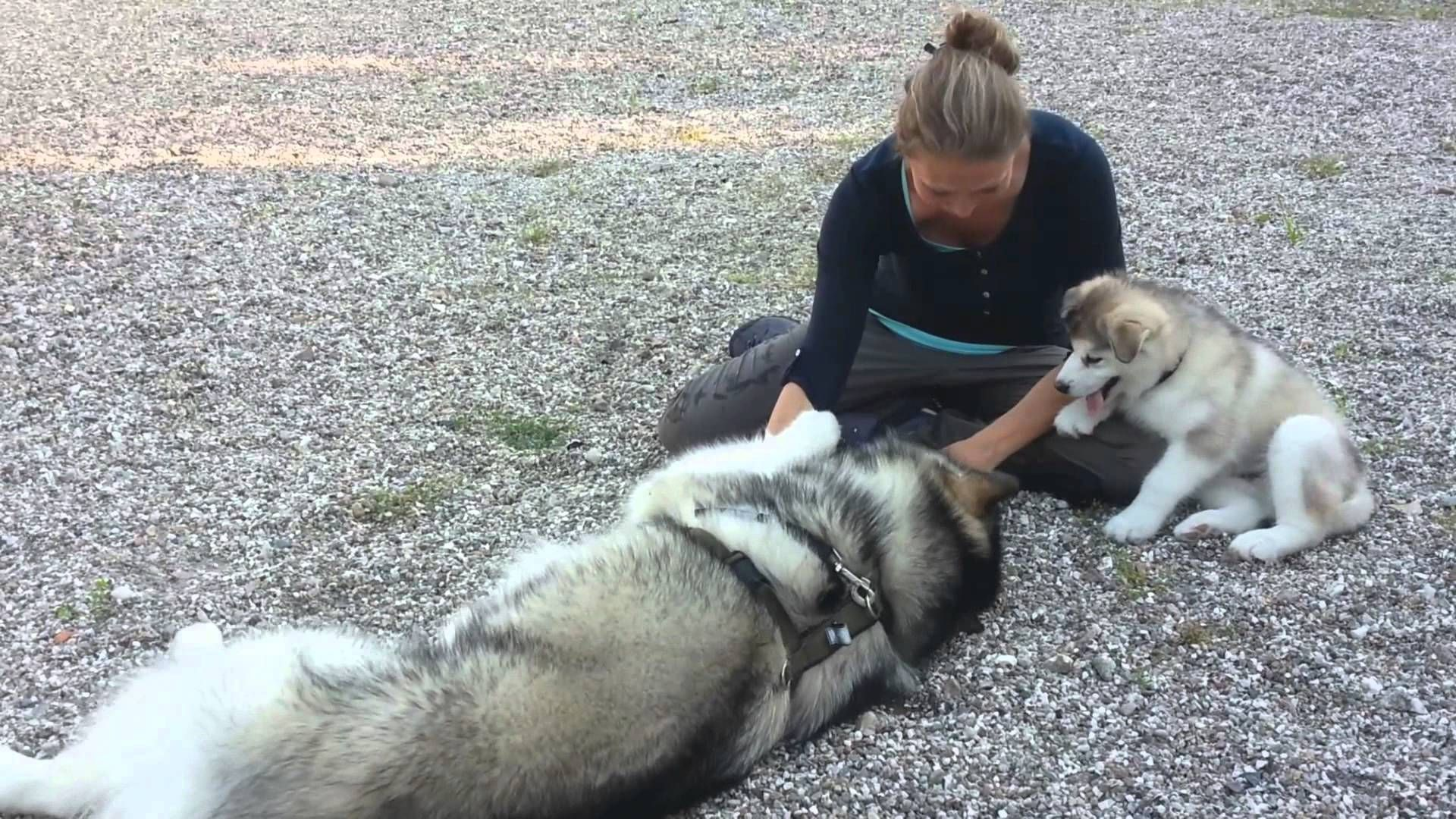 Alaskan malamutes meeting for the very first time cute cute