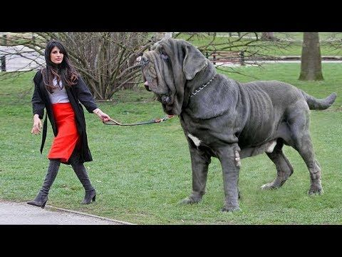 Picture Of The Largest Mastive Dog