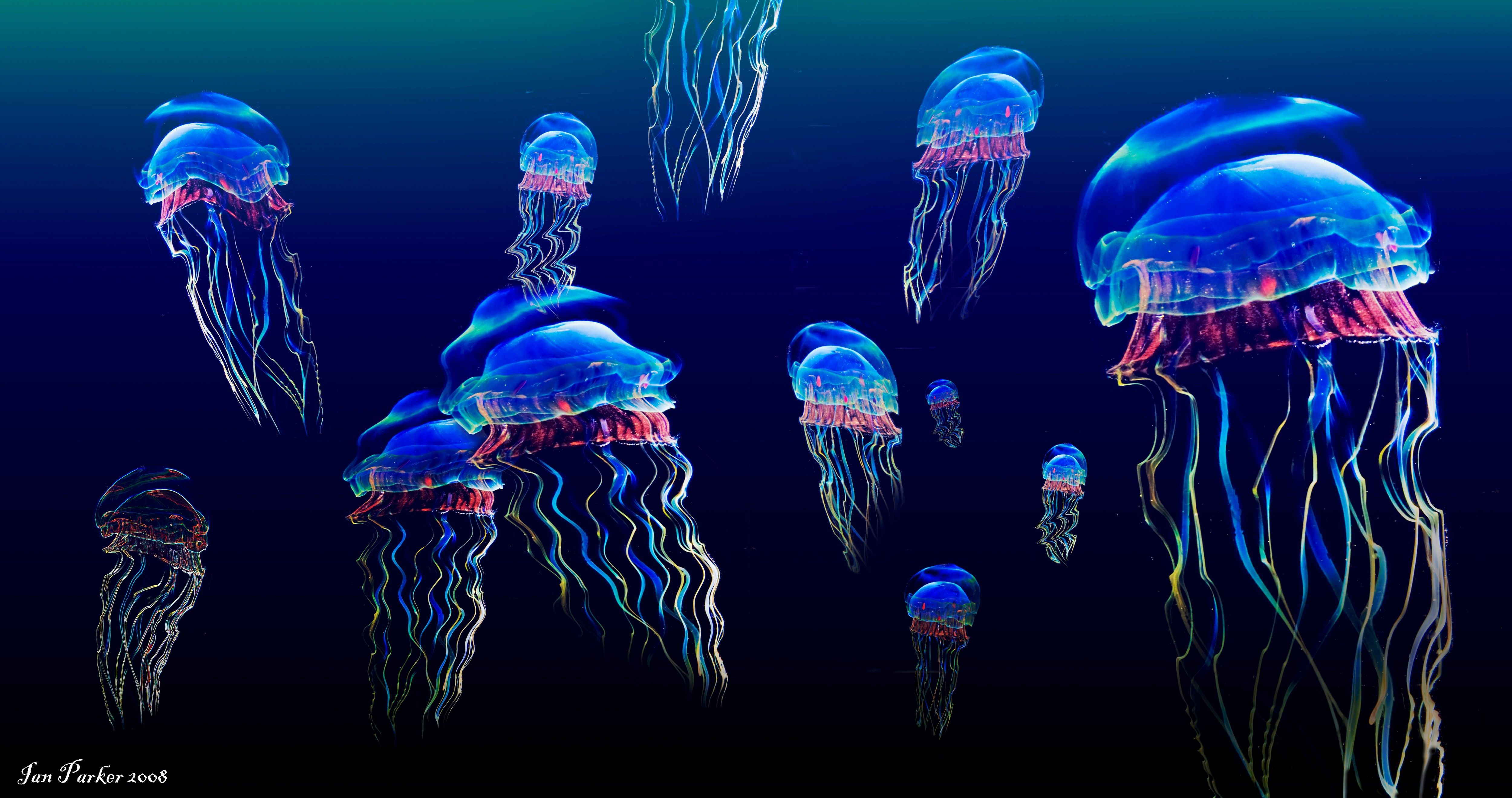 5000x2641 free desktop backgrounds for jellyfish