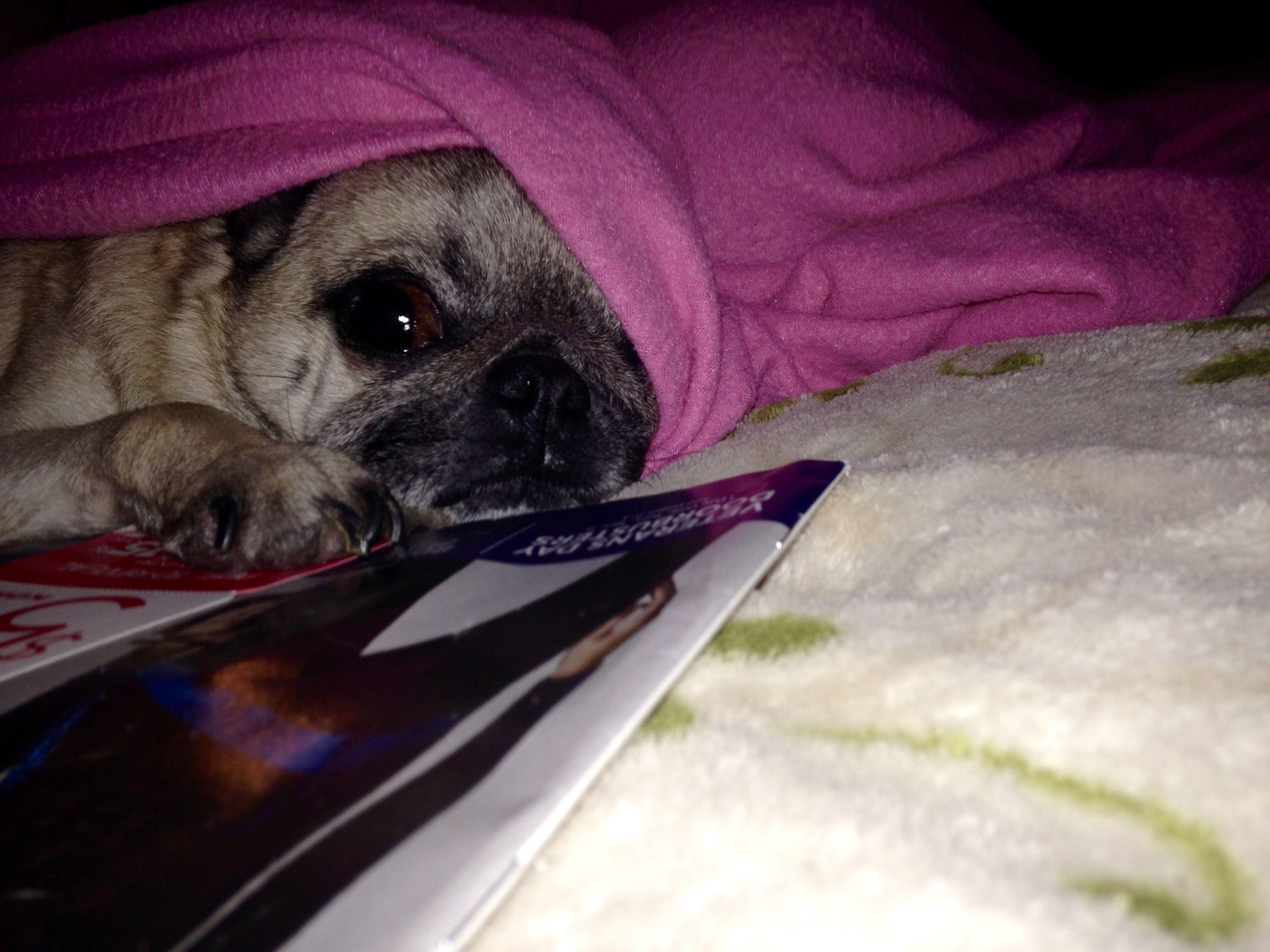 BerkeleyQuinn 🐾🐾 Pug love, Pugs, Cute animals