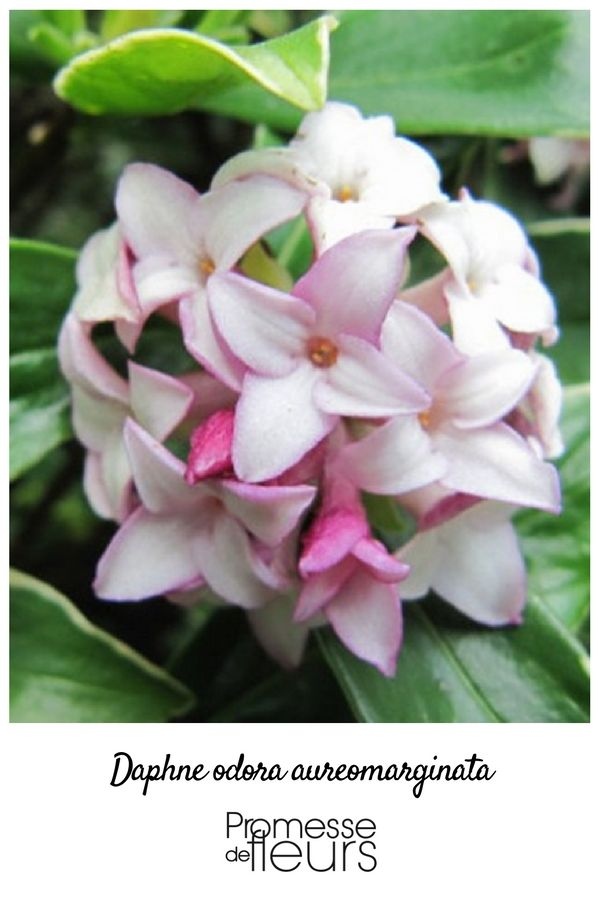 le daphne odora aureomarginata ou daphn odorant est un arbuste sa longue floraison hivernale. Black Bedroom Furniture Sets. Home Design Ideas