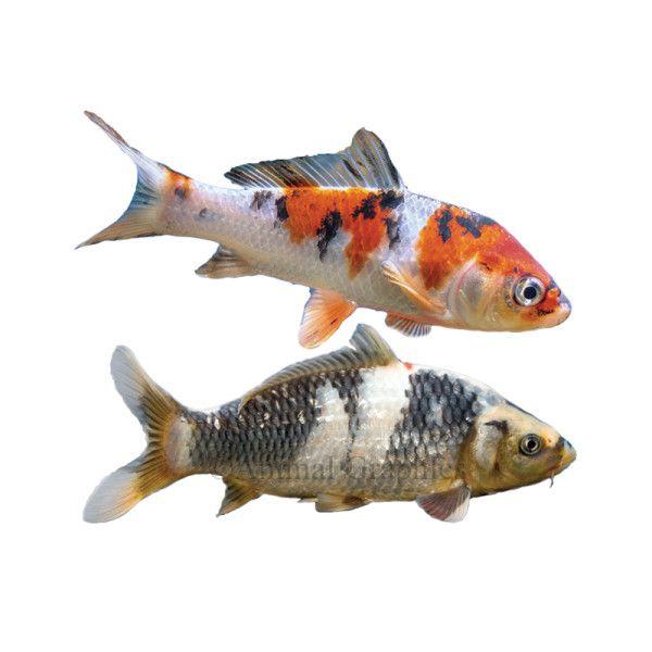 Petsmart Com Live Pet Fish Koi Assorted Vip Reception Bar Pet Fish Fish For Sale Live Fish