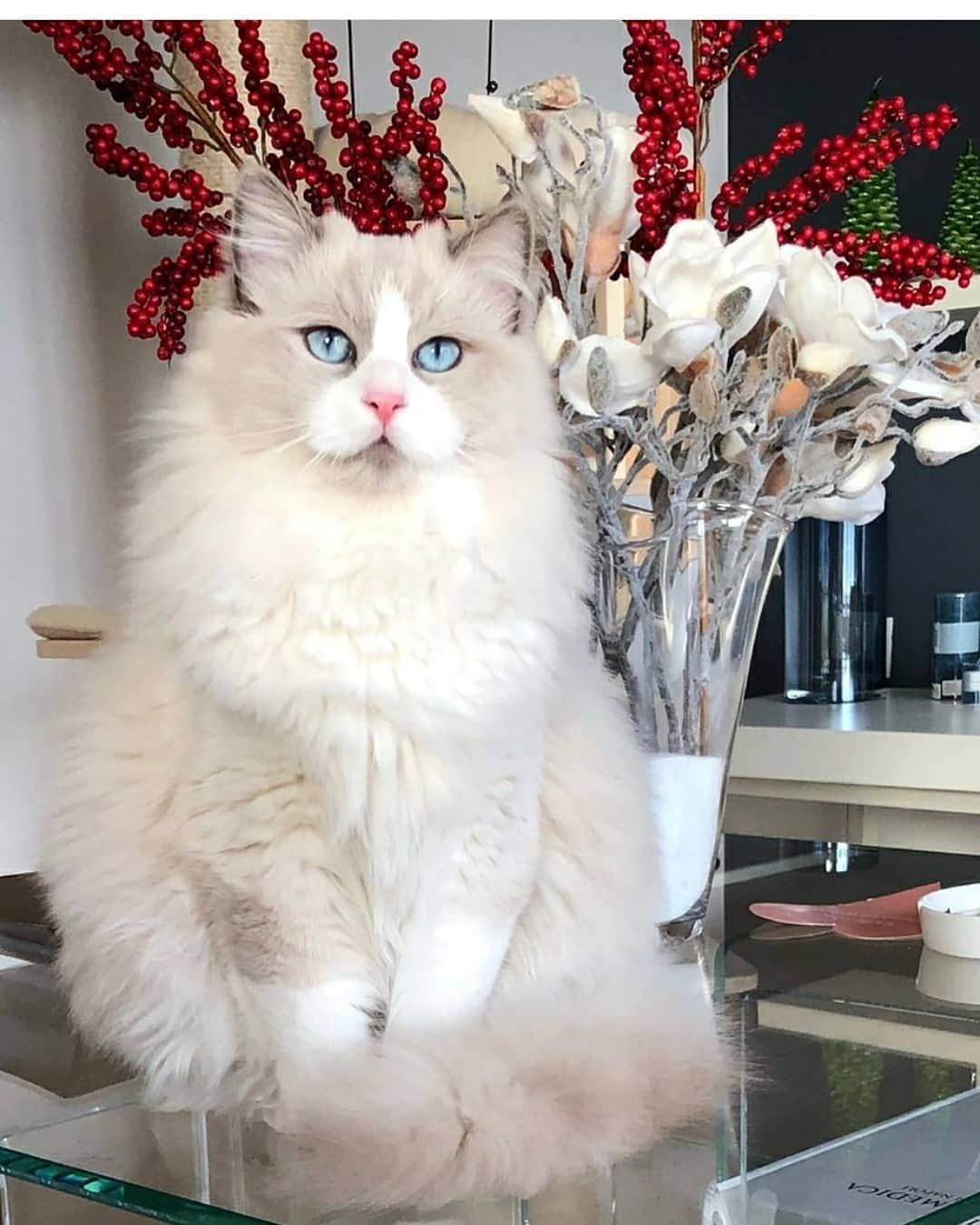 Animal Jobs Near Me (With images) Ragdoll cat, Ragdoll