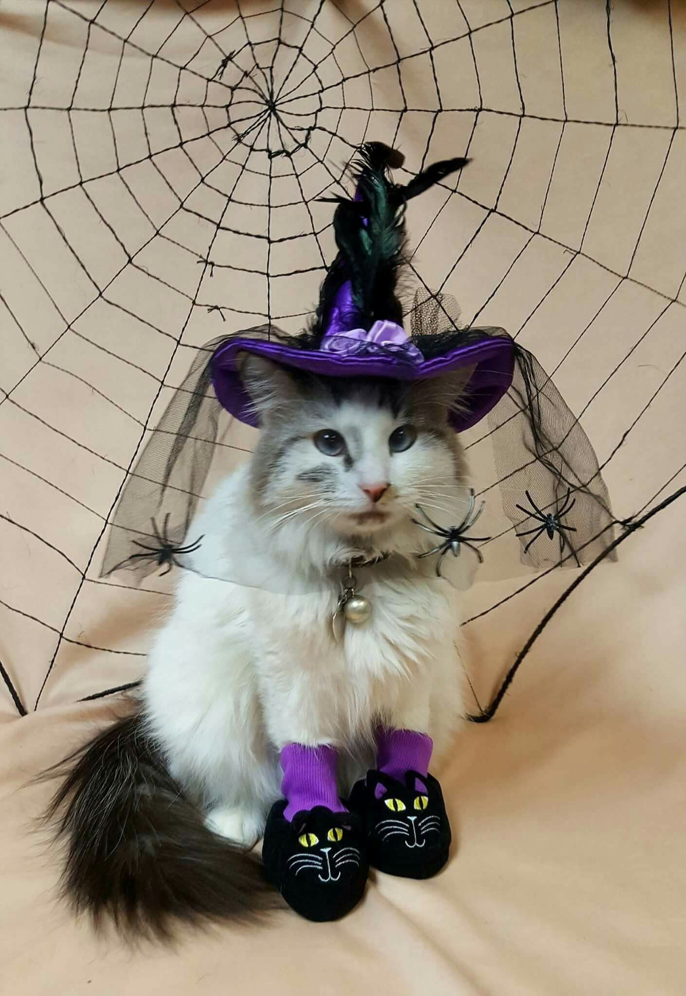 Pin by Brianna Kristalyn on Halloween Fall cats, Cat