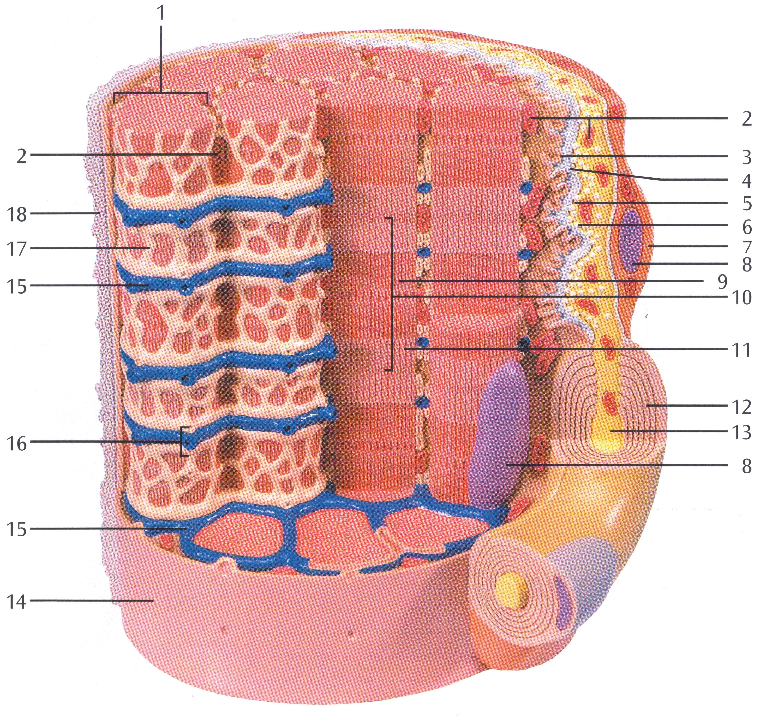Skeletal Muscle Diagram Labeled Peg Perego Gator Wiring Fiber 1 Myofibrils 2 Mitochondrium 3
