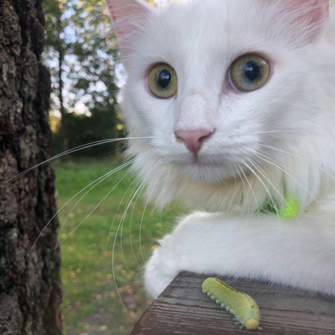 Kisulimilli Kitten Kittens Whitecat Whitecats Norjalainenmetsakissa Kissanpentu Kissa Valkoinenkissa Sopo Lovecats Catsagram Cats Animals Blogspot