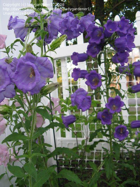 Canterbury Bells Campanula Medium Var Calycanthema August Flowers Campanula Flowers Flower Garden