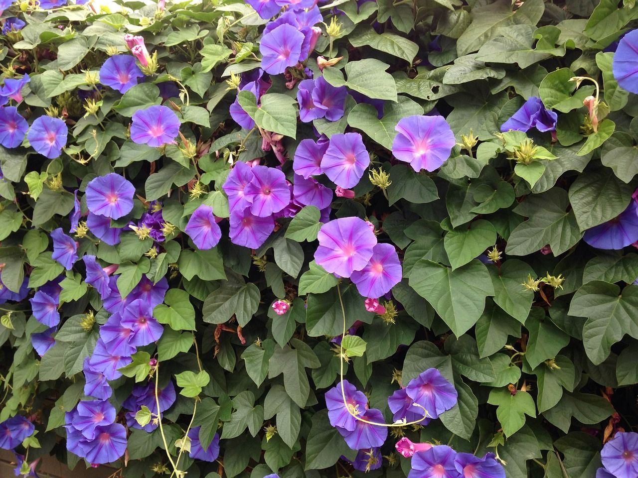 Free Image On Pixabay Blue Flowers Morning Glory Flowering Vines Climbing Plants Garden Vines