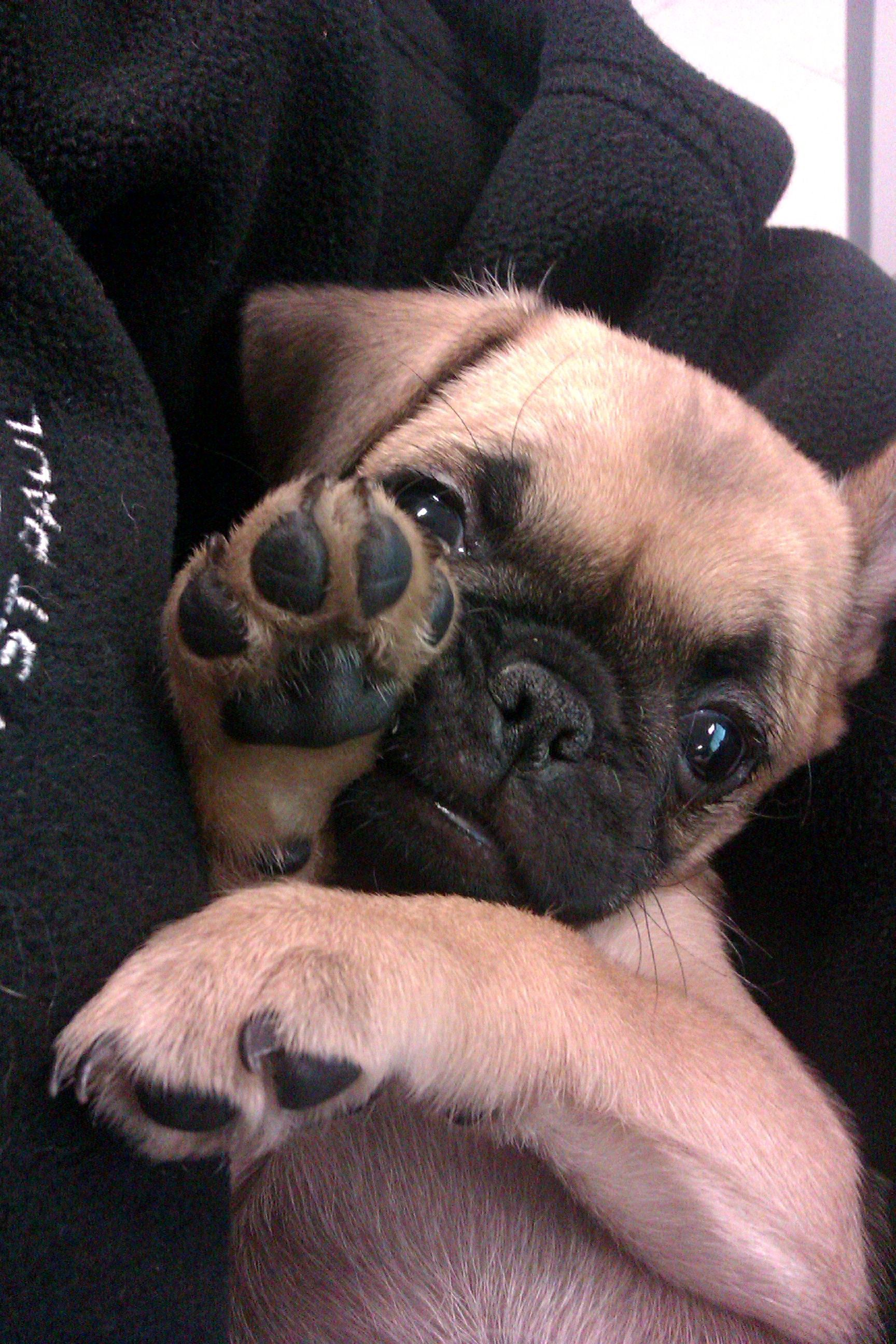 Chug Puppies Are So Cute 3 Pugs Cute Animals