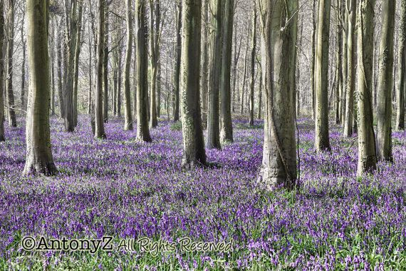 Bluebell flowers in the Forest at spring time 8x10 Fine by antonyz.