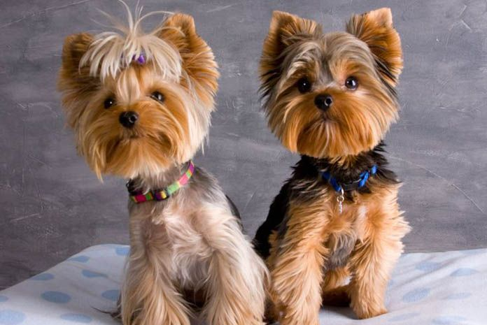 Yorkie Haircuts Pictures Coolest Yorkshire Terrier Haircuts Yorkie Terrier Yorkie Haircuts Yorkie Puppy