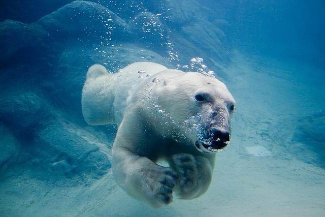 「arctic char swimming」の画像検索結果