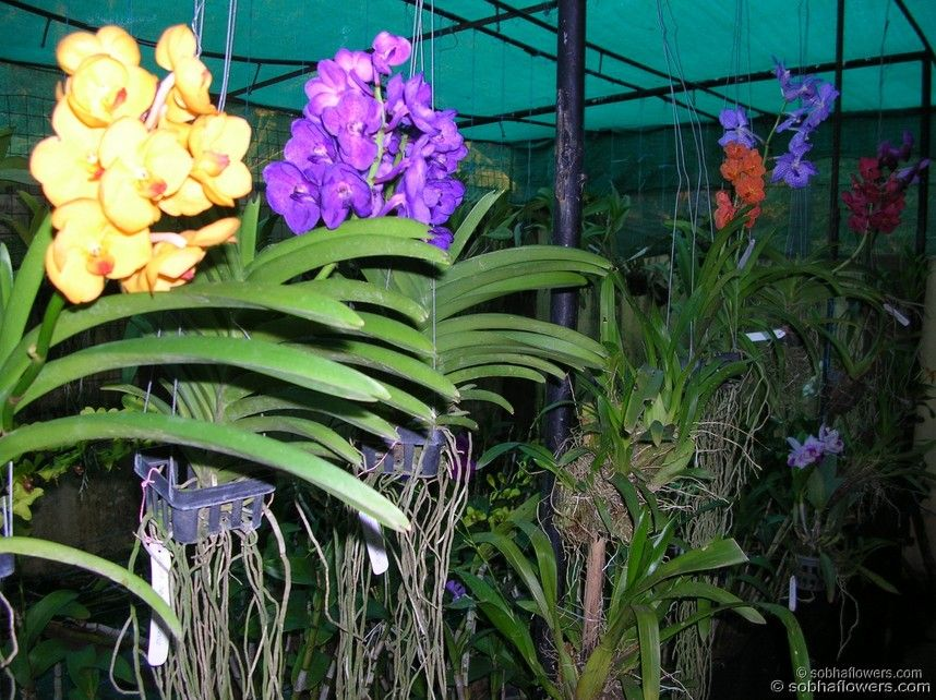Vanda Orchids Species Family Information Orchids In India Sobha Orchids Kerala India Plants Types Of Orchids Beautiful Orchids