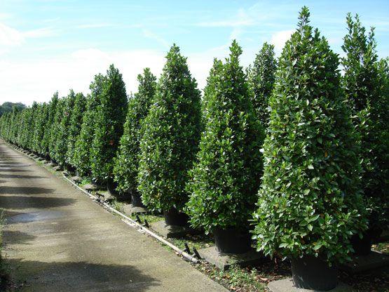 Laurus Nobilis Bay Tree Bay Laurel Pyramids Each Tree Is At