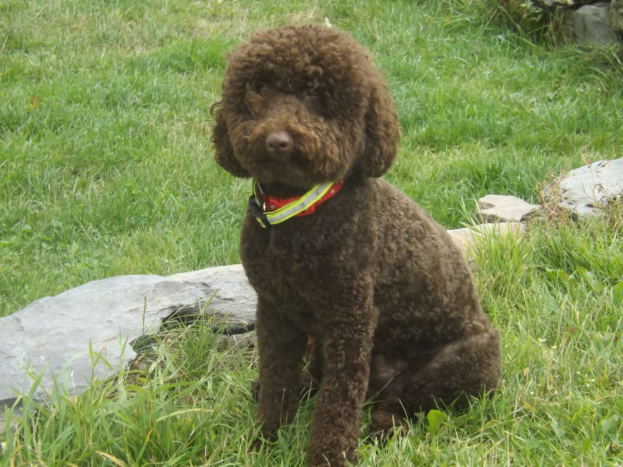Dark Chocolate Miniature Poodle For Stud Chocolate Poodle