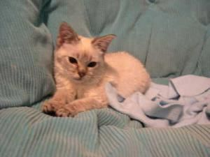 Pixie Is An Adoptable Siamese Cat In Coppell Tx To Request More Information About Pixie Click Here To Adopt Pixie Visit Our Webs Baby Animals Kittens Cats