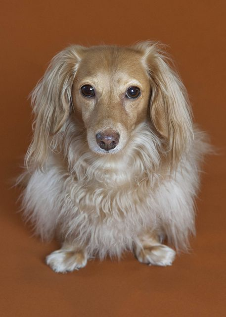Beautiful Long Haired Dachshund A Blonde For Cooper
