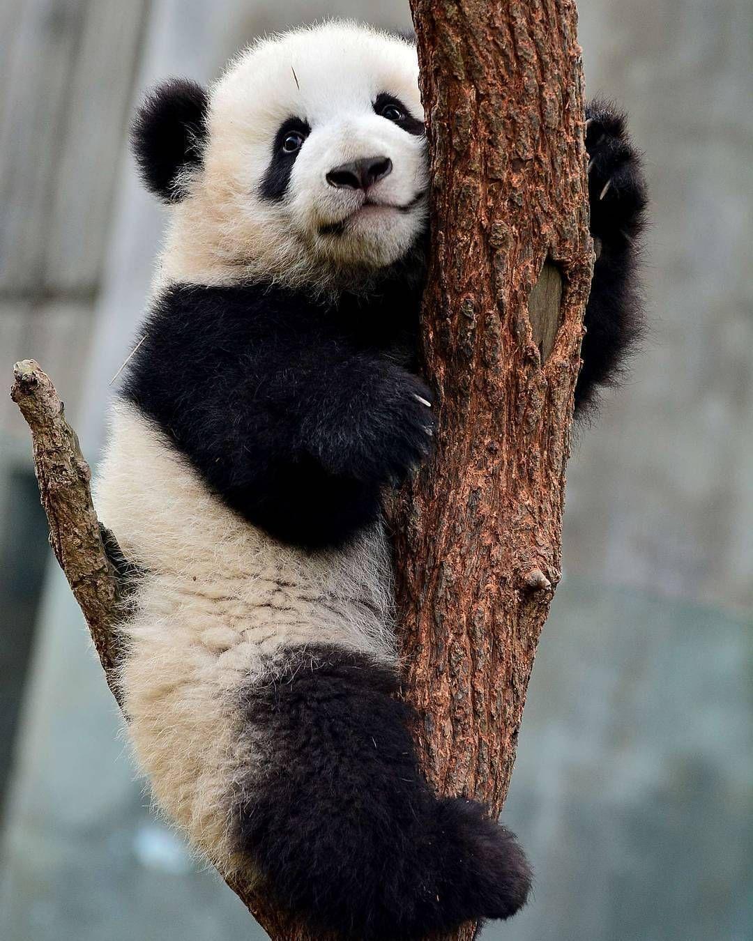 Pin on Panda Bear Love