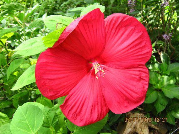 10 Luna Red Hardy Hibiscus Hibiscus Moscheutos Balhibred Gardening