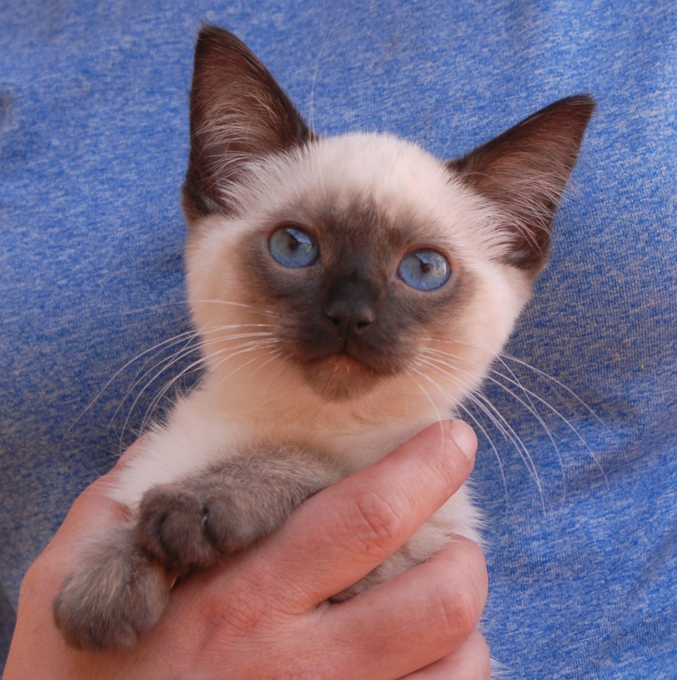 Paladin, a rescued Siamese kitten for adoption, blessed