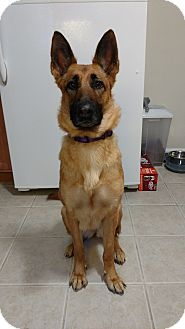 Evanston Il German Shepherd Dog Meet Lucy A Dog For Adoption
