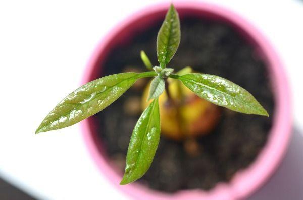 Avocado-Baum wachsen lassen #avocado #lassen #wachsen