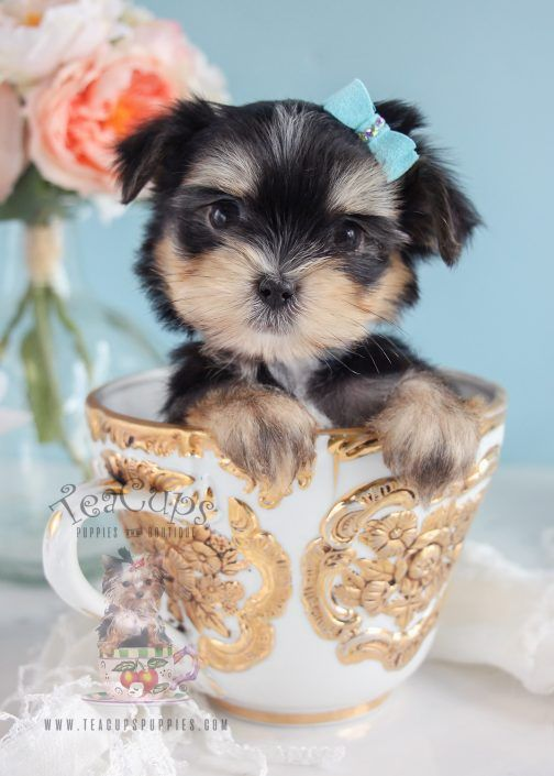 Adorable Morkie Puppy By Teacups Www Teacupspuppies Com Teacup Puppies Morkie Puppies Teacup Puppies For Sale