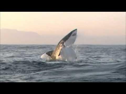 Shark Cage Diving, Breaching & Natural Predation