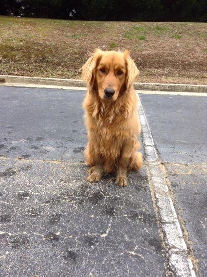 Found Dog Golden Retriever Loganville Ga United States 30052