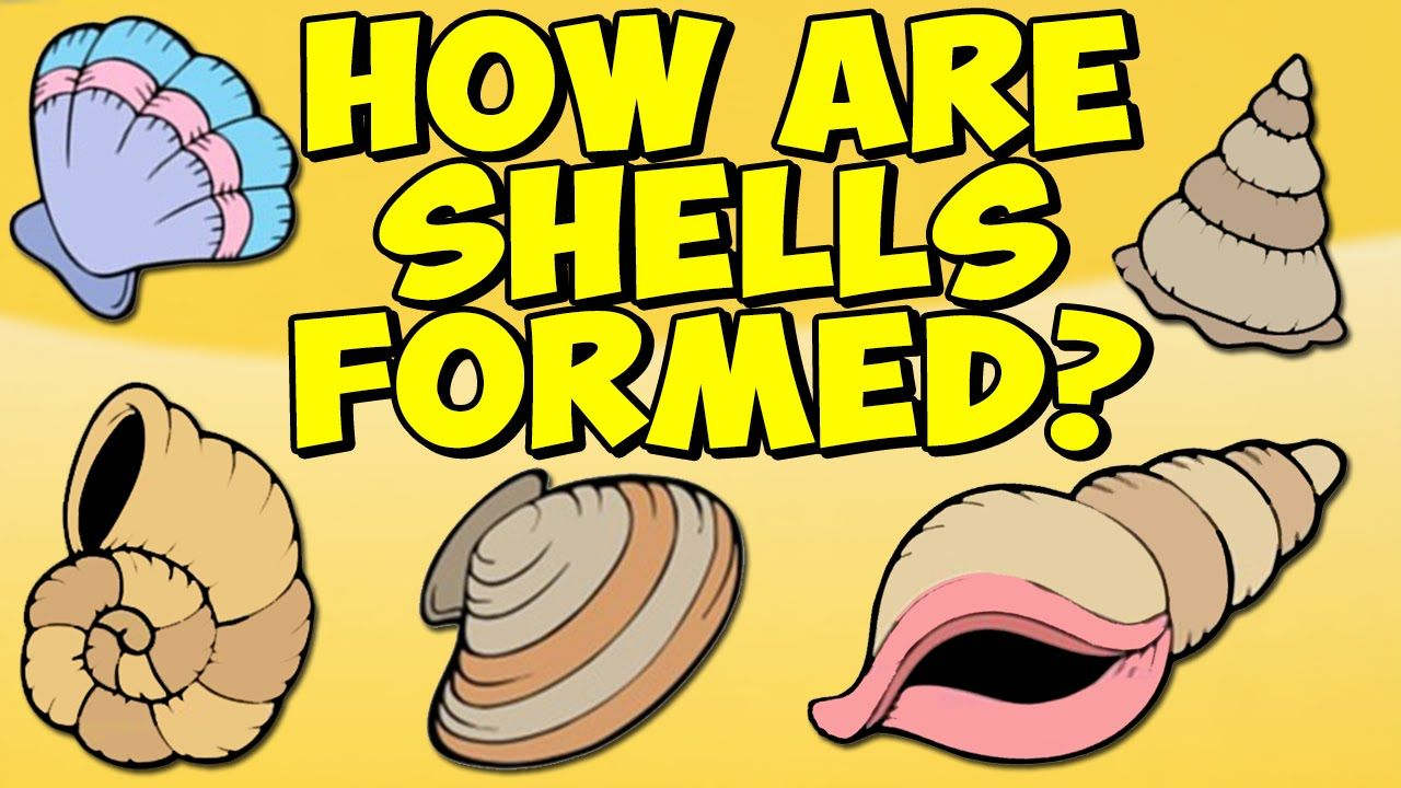 Animated Pictures Of Seashells basic (grade 5): this animated video offers a scientific