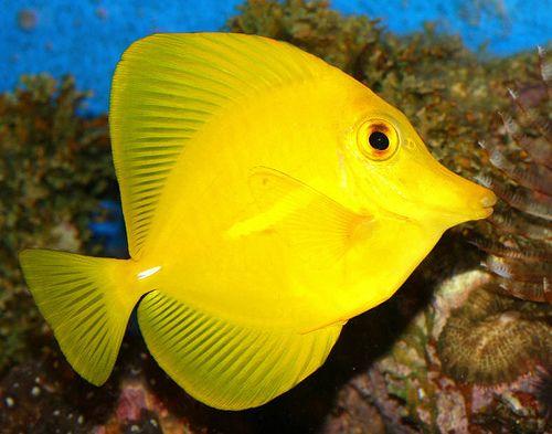 Yellow tang   Sea fish, Marine fish, Water animals