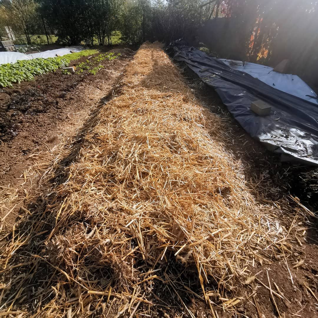 Today I Finished My Garlic Patch 12 50m Long 3 Rows At A