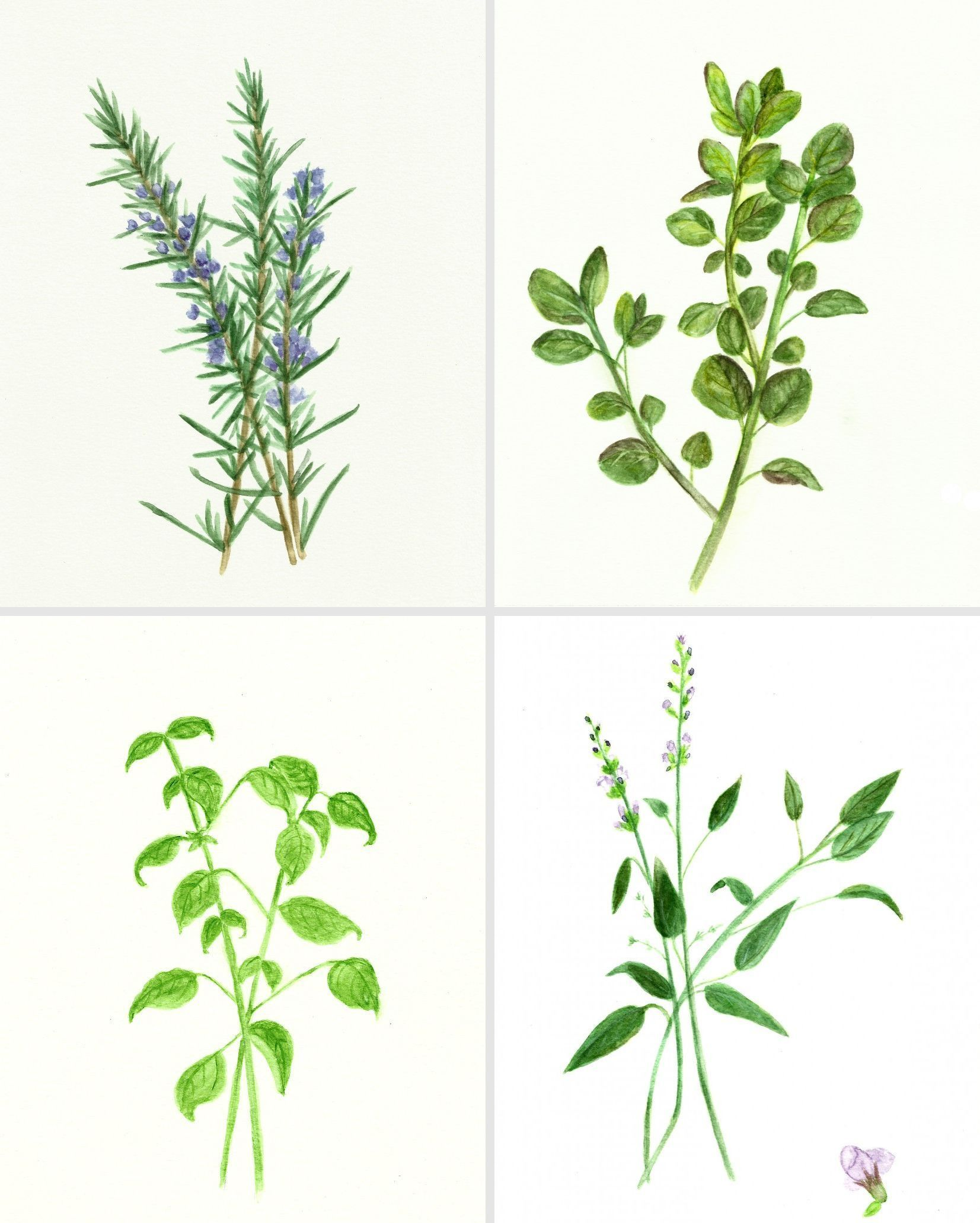 Free Herb Watercolor Printables Rosemary And Oregano