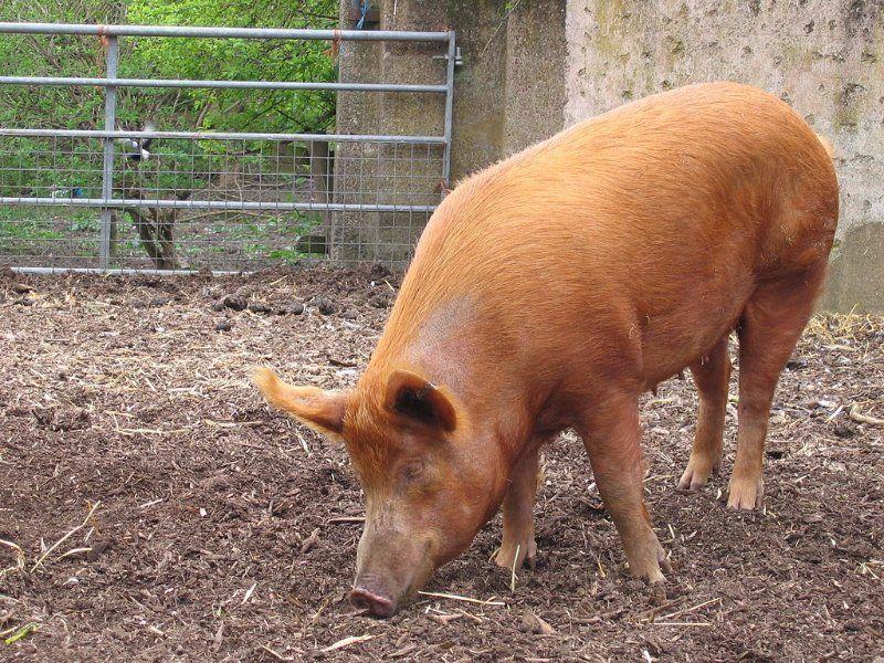 7 Characteristics of Tamworth Pigs That Make Them Great