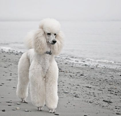 Pin By Hanna Jalonen On Frech Poodle Poodle Dog Dog Breeds Poodle Puppy