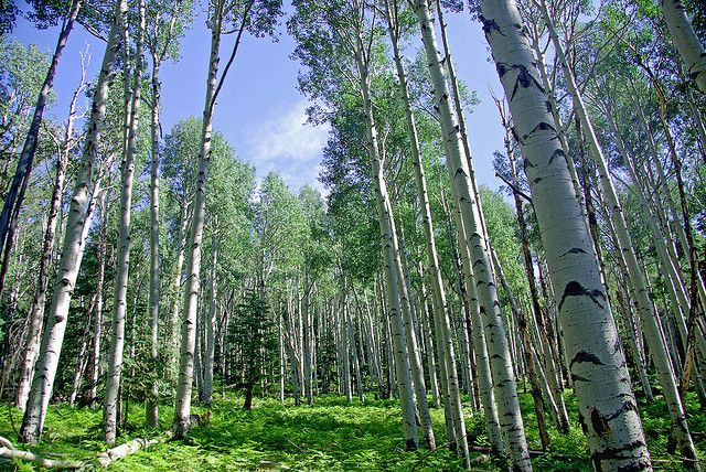 Aspen's Magical Uses #pagan #wicca #herbalism