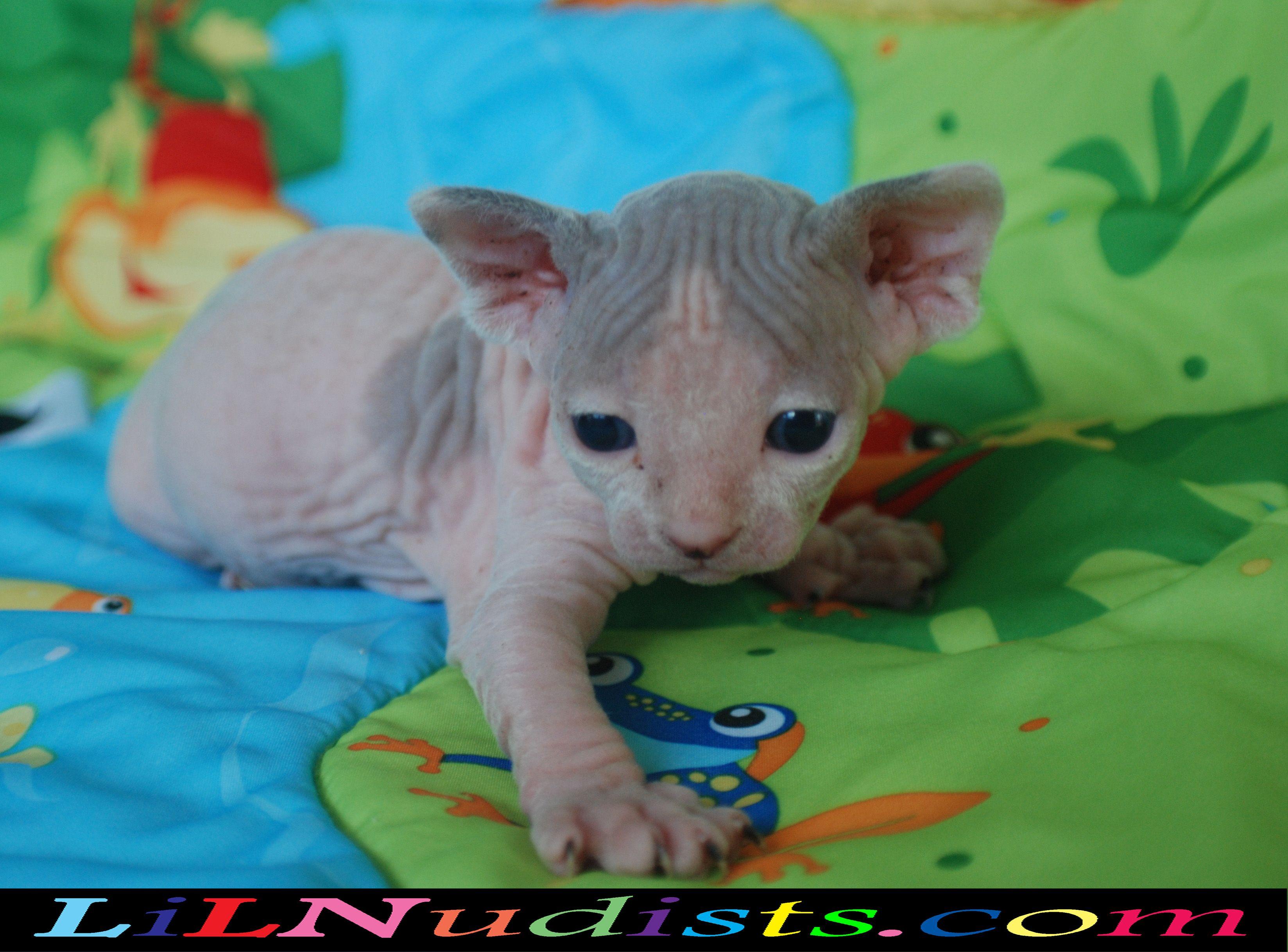 Bambino Sphynx Hairless Dwarf Cats Kittens Bambino Cat Hairless Cat Dwarf Cat