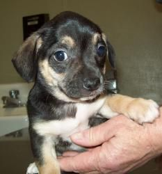 Adopt Stella on | Pregnant dog, Wire haired dachshund and ...