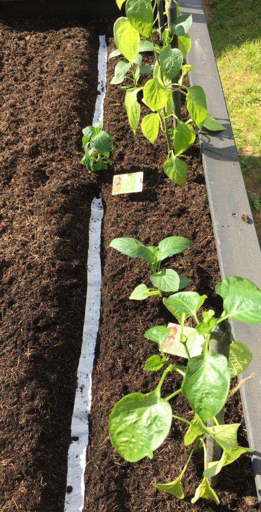 Paprika Und Radieschen Ins Hochbeet Pflanzen Hochbeet Pflanzen Hochbeet Paprika Pflanzen