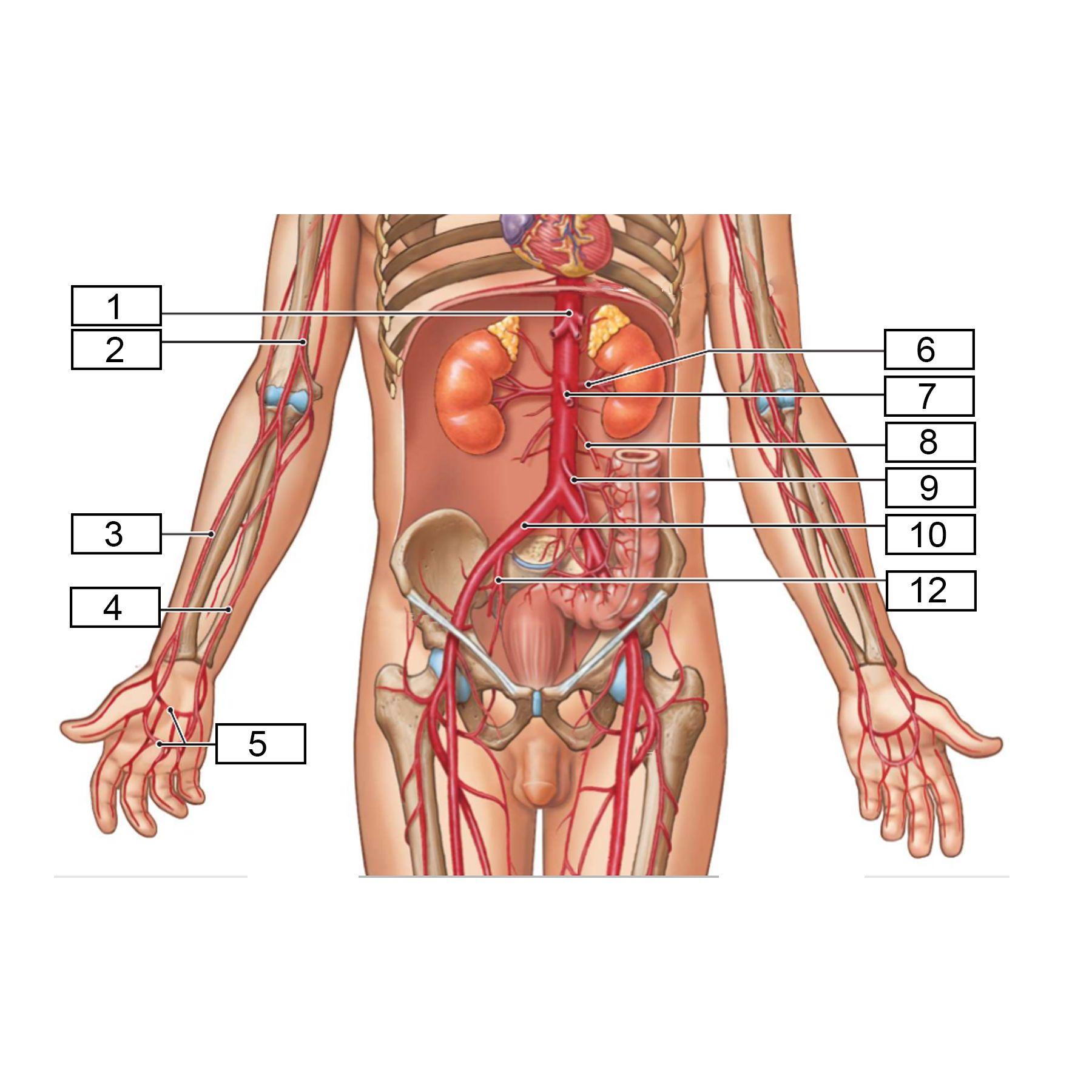 1=arteria iliacus externa 3=arteria tibialis posterior 4=arteria ...