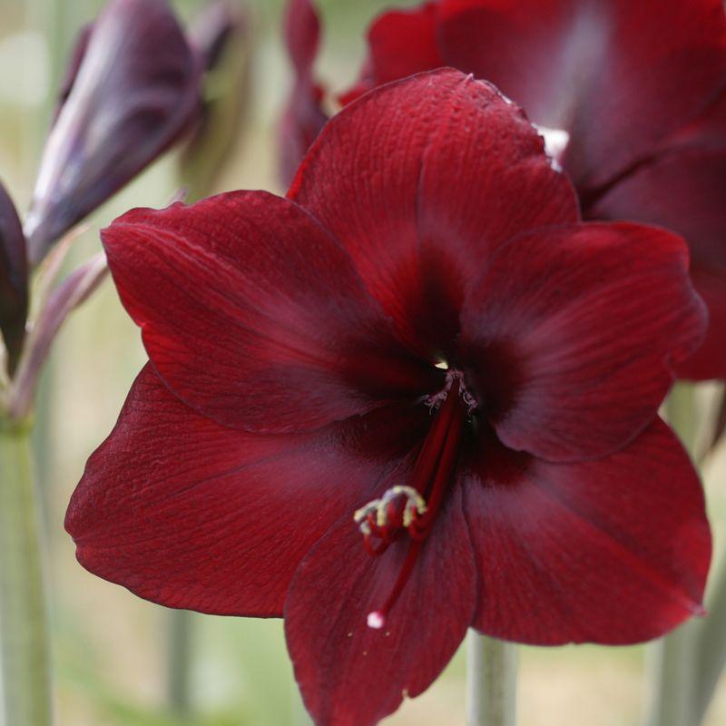 Amaryllis Carmen Amaryllis Bulbs Amaryllis Flowers Amaryllis