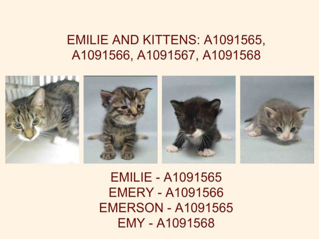 Emilie And Kittens A1091565 A1091566 A1091567 A1091568 Brooklyn To Be Destroyed 10 04 16 Emilie S Three Kittens Kittens Foster Cat Cat Adoption