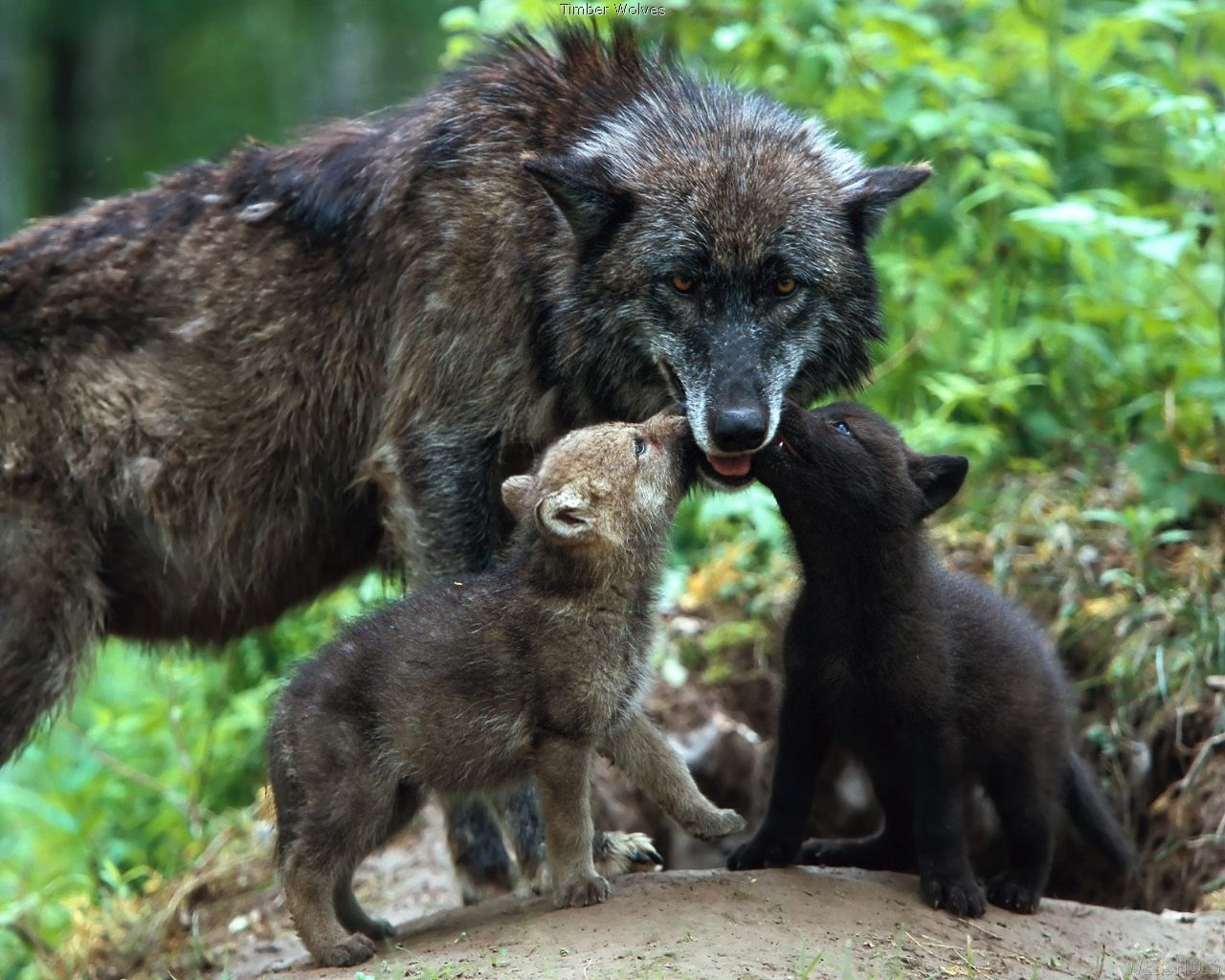 wolf mom and pups