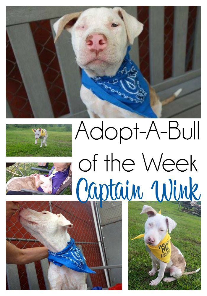Adopt A Bull Of The Week Captain Wink Nanny Dog Adoption