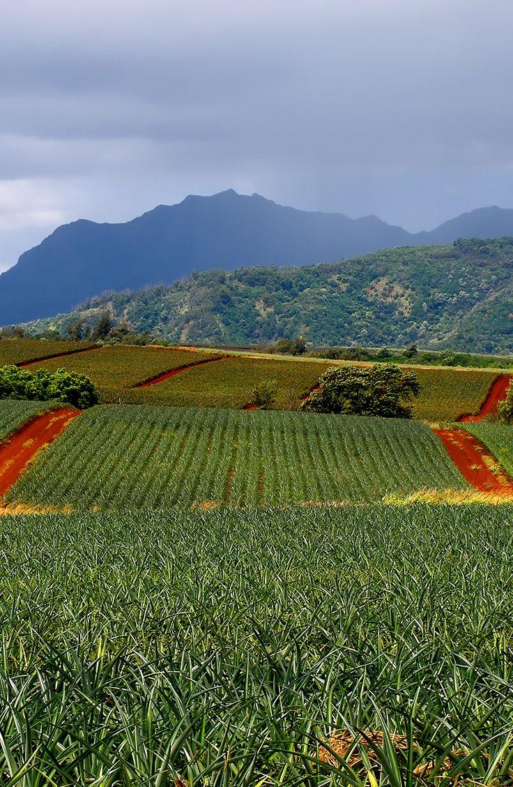 Pineapple fields in Hawaii